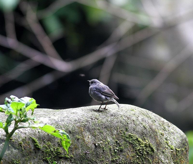 台湾鳥見旅行(その9)・・・_c0213607_19223514.jpg