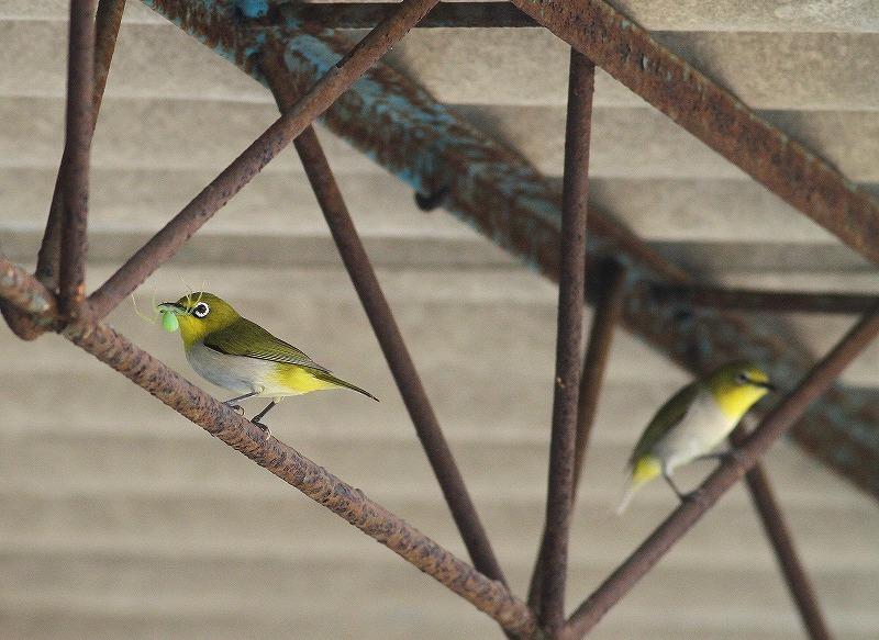 台湾鳥見旅行(その9)・・・_c0213607_19282798.jpg