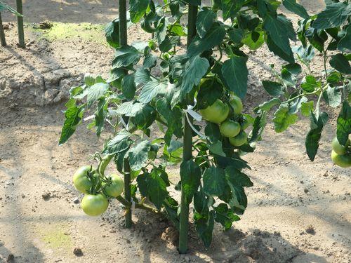 まめつぶ農園2016 Vol.9黒豆が順調に生育中。_b0206037_08225155.jpg