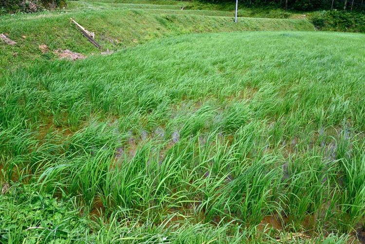 今年の米作り_d0231263_22372761.jpg
