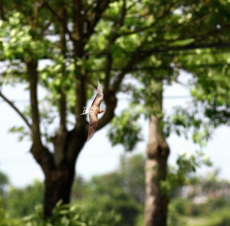 台湾鳥見旅行(その10)・・・_c0213607_21315205.jpg