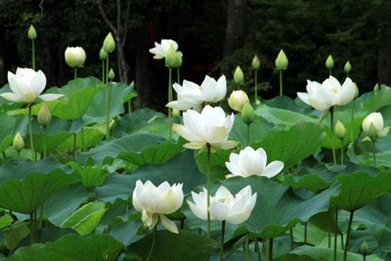 府立植物園 ハス満開_e0048413_2136057.jpg