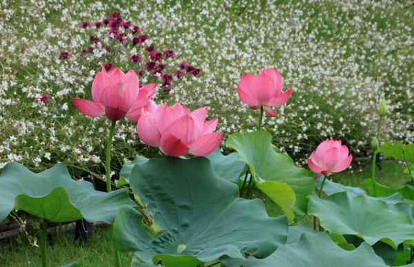 府立植物園 ハス満開_e0048413_2136141.jpg
