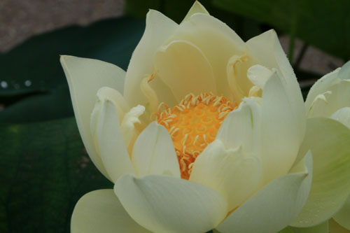 府立植物園 ハス満開_e0048413_21365683.jpg