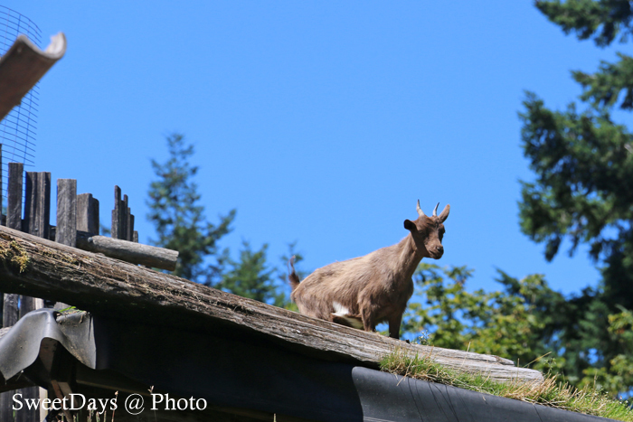 Goats on the roof in Coombs (クームス)_e0046675_07385129.jpg