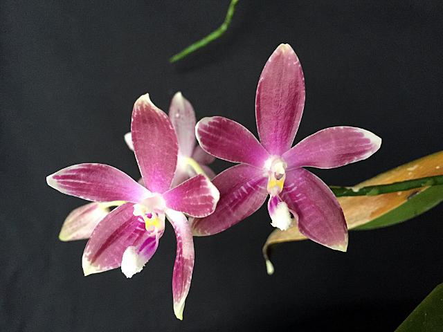Phal. speciosa (ファレノプシス;スペシオーサ)_d0007501_643213.jpg