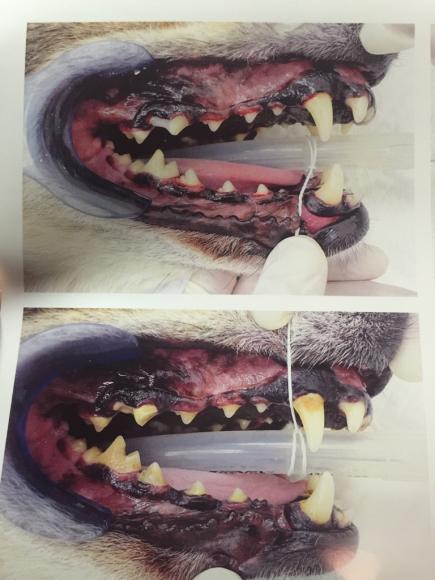 タイソンの歯の手術_a0126743_17505470.jpg
