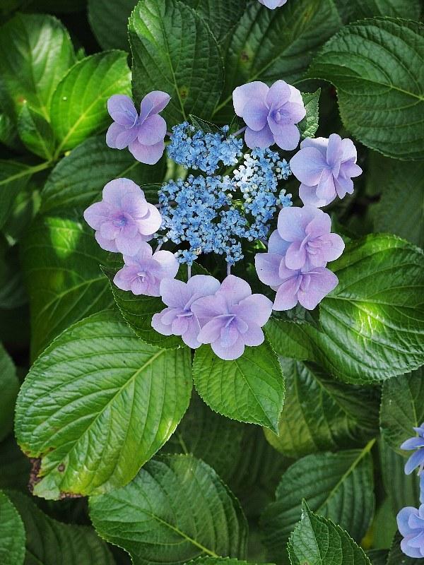 可愛い紫陽花_a0330871_19433537.jpg
