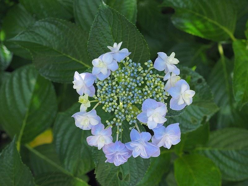 可愛い紫陽花_a0330871_19433559.jpg