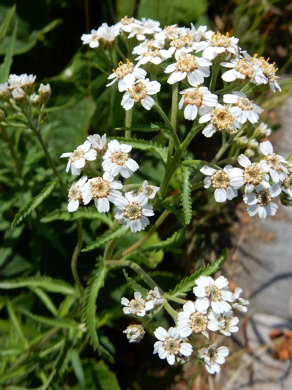 ノコギリソウ咲きました_f0354435_12470200.jpg