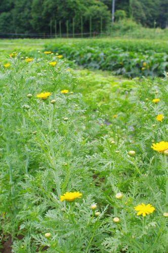 春菊の花_c0110869_13293431.jpg
