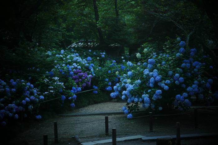 紫陽花 2016 矢田寺_f0021869_23114853.jpg