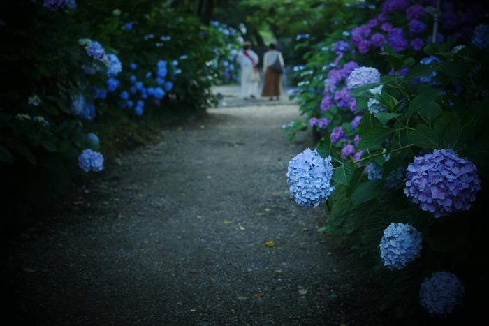 紫陽花 2016 矢田寺_f0021869_2312728.jpg
