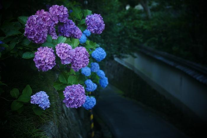 紫陽花 2016 矢田寺_f0021869_2313870.jpg