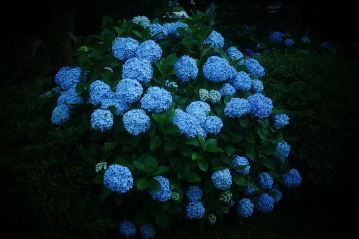紫陽花 2016 矢田寺_f0021869_231415.jpg
