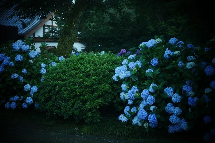 紫陽花 2016 矢田寺_f0021869_23143015.jpg