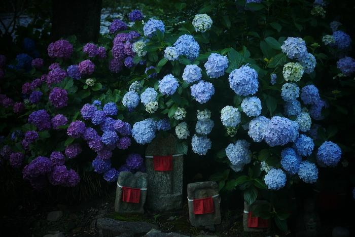 紫陽花 2016 矢田寺_f0021869_23145321.jpg