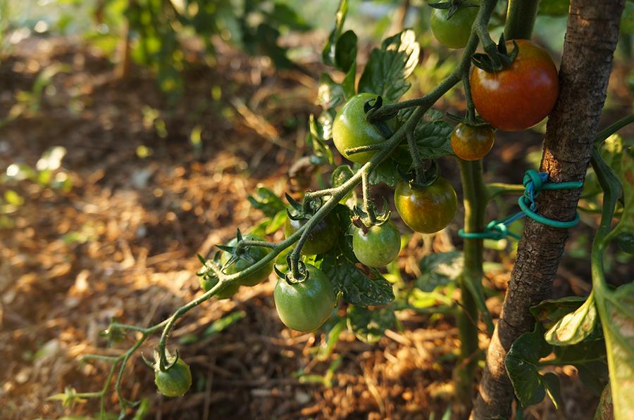 トマトのコンパニオンプランツは・・・_f0106597_18073017.jpg