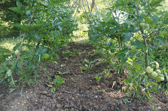 トマトのコンパニオンプランツは・・・_f0106597_18142485.jpg