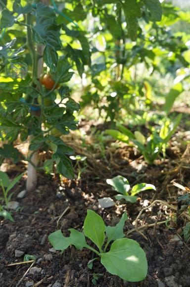 トマトのコンパニオンプランツは・・・_f0106597_18191547.jpg