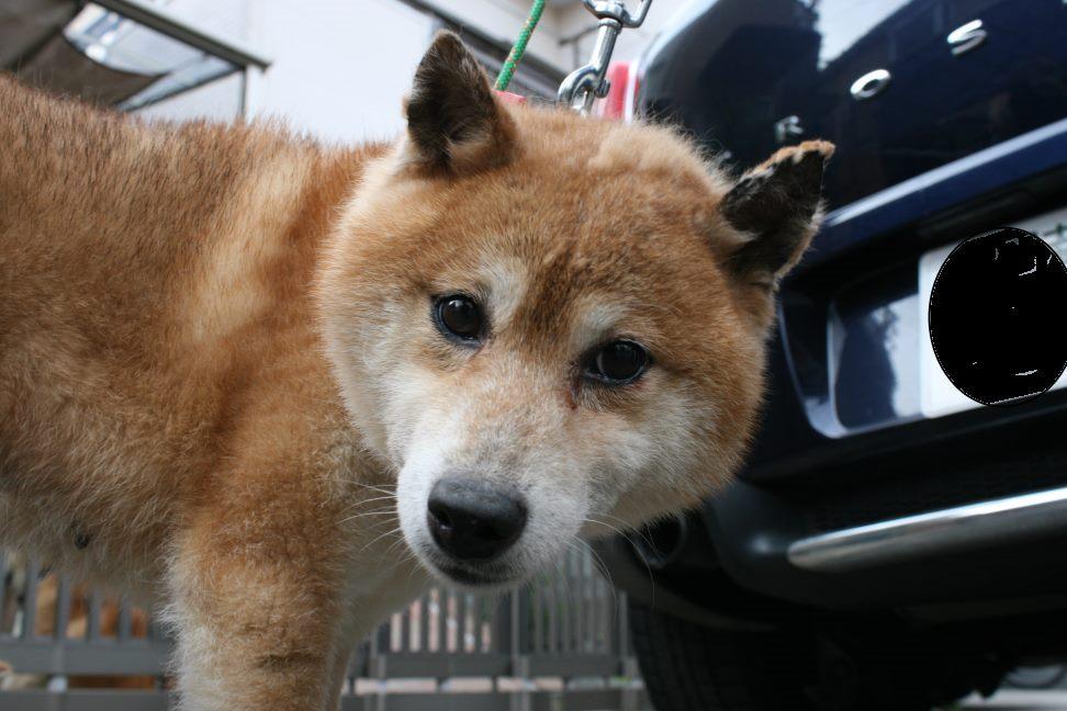 ブリーダー放棄の柴犬とラブたち(7/2-7/3)_f0242002_1594278.jpg