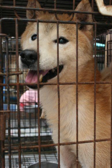 ブリーダー放棄の柴犬とラブたち(7/2-7/3)_f0242002_2113399.jpg