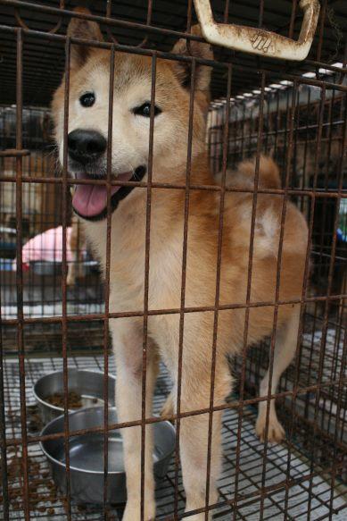 ブリーダー放棄の柴犬とラブたち(7/2-7/3)_f0242002_211392.jpg