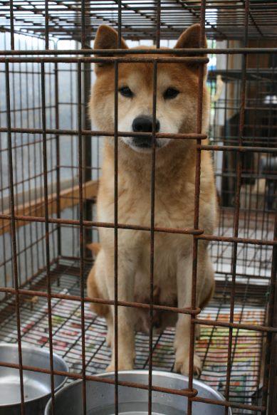 ブリーダー放棄の柴犬とラブたち(7/2-7/3)_f0242002_2122854.jpg