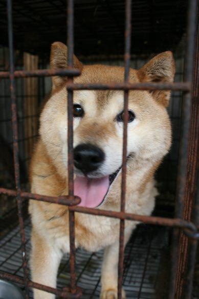 ブリーダー放棄の柴犬とラブたち(8/20)_f0242002_224337.jpg