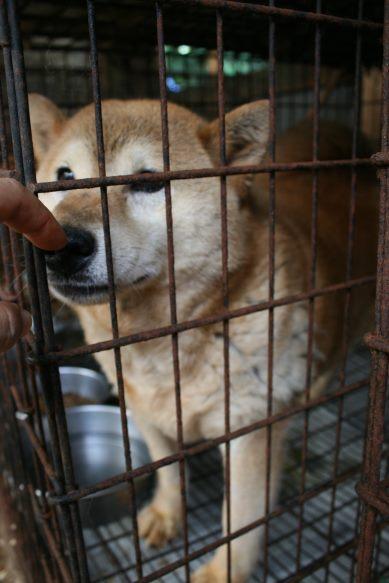 ブリーダー放棄の柴犬とラブたち(7/2-7/3)_f0242002_224783.jpg