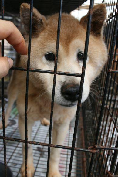 ブリーダー放棄の柴犬とラブたち(7/2-7/3)_f0242002_2281362.jpg