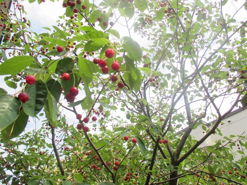 ジューンベリー収穫_f0202703_22185232.jpg