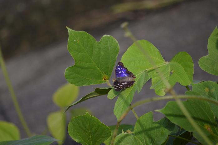 クロコムラサキ四翅の輝き 7月10日_d0254540_14354196.jpg
