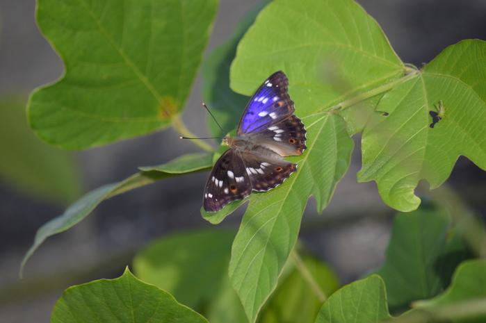 クロコムラサキ四翅の輝き 7月10日_d0254540_14363238.jpg