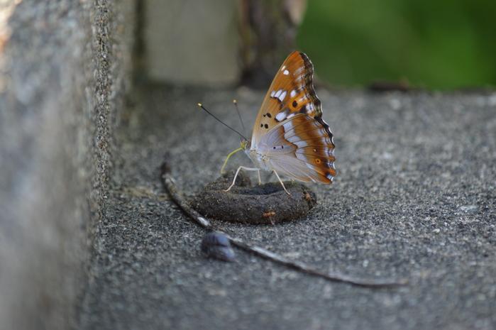 クロコムラサキ四翅の輝き 7月10日_d0254540_14411189.jpg