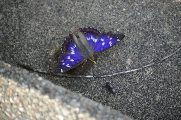 クロコムラサキ四翅の輝き 7月10日_d0254540_1442183.jpg