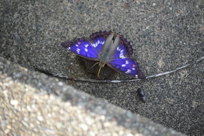 クロコムラサキ四翅の輝き 7月10日_d0254540_14434579.jpg