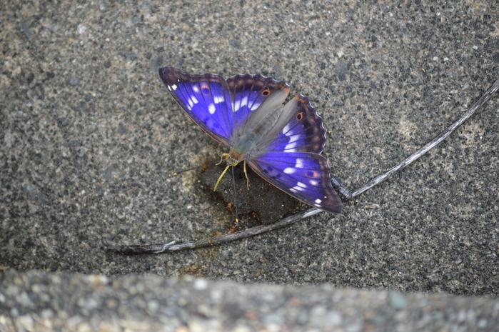 クロコムラサキ四翅の輝き 7月10日_d0254540_14445238.jpg
