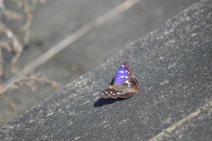 クロコムラサキ四翅の輝き 7月10日_d0254540_19111444.jpg