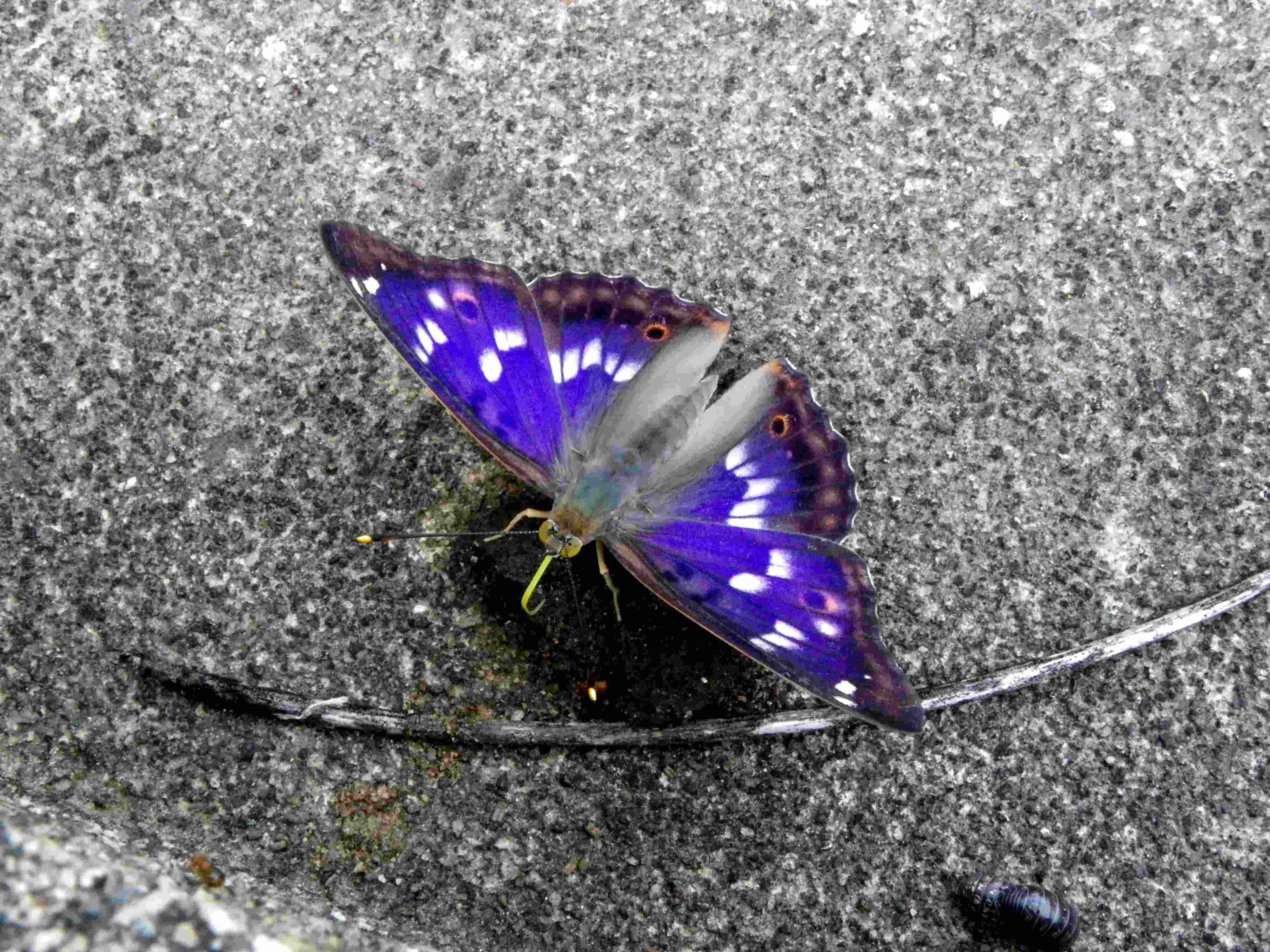 クロコムラサキ四翅の輝き 7月10日_d0254540_19483071.jpg