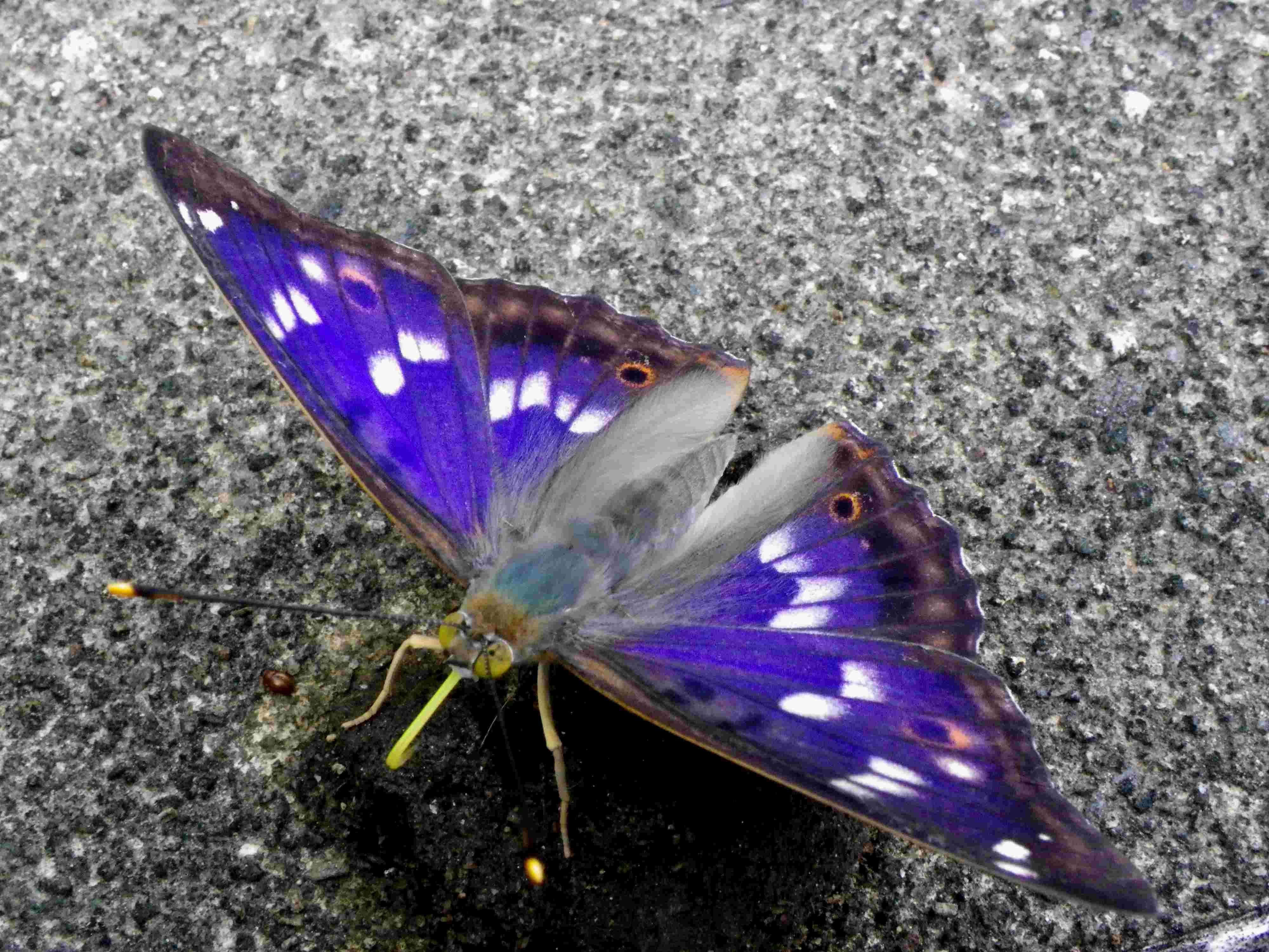 クロコムラサキ四翅の輝き 7月10日_d0254540_19484516.jpg