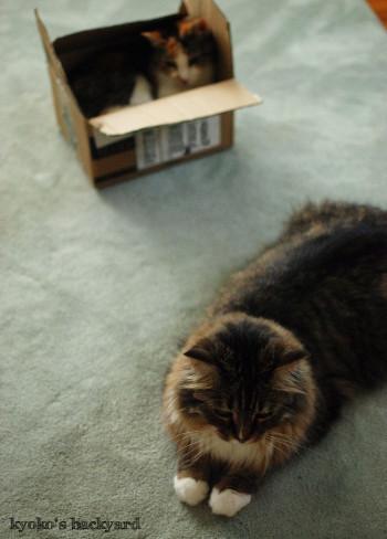 箱の中の姉猫を見た、弟猫の反応_b0253205_08204969.jpg
