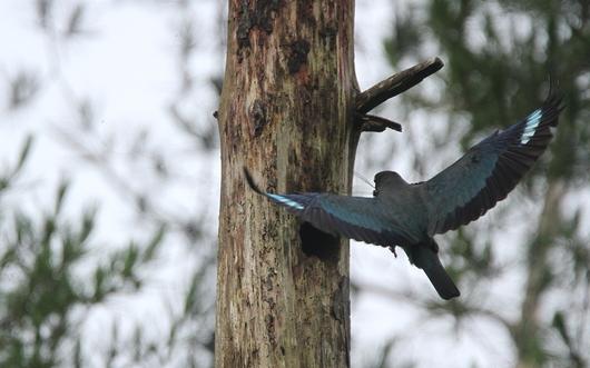 自然木でのブッポウソウの営巣_f0364220_710557.jpg