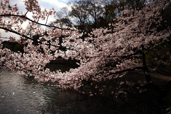 今さら、桜の写真_b0175635_9342345.jpg