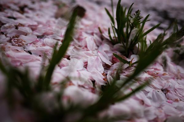 今さら、桜の写真_b0175635_9344149.jpg