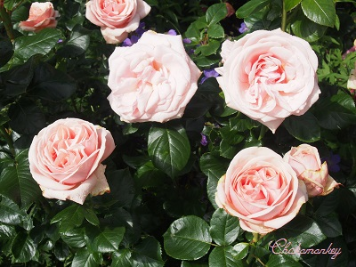 王立ローズガーデンRoyal National Rose Societyのバラ_f0238789_2391089.jpg