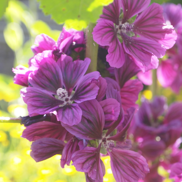 コモンマロウの収穫_a0292194_19344753.jpg