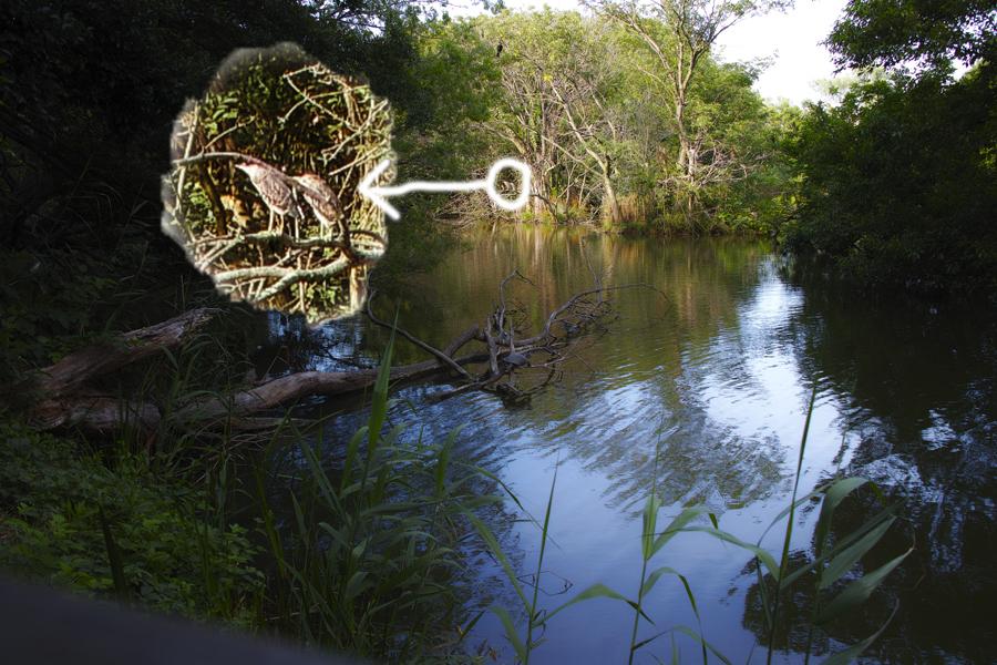 SIGMA sd Quattro でゴイサギとカワセミを撮る(水元公園特集②)_c0223825_23315633.jpg