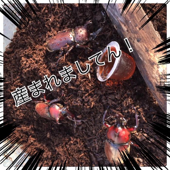 カブト虫 あり〼_c0170233_15053200.jpg