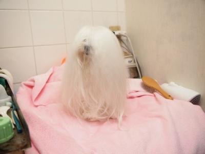ピンクちゃんの長~い前髪…_b0001465_15162645.jpg